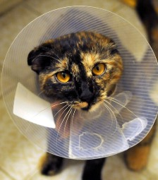 cat with cone after vet surgery in 95663